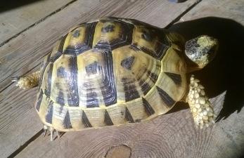 Koopa-Klomper-schildpad