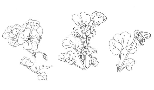 Pelargonium_Inne_Haine-sketch2